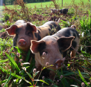 Occombe Farm Pigs