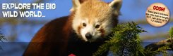 paignton zoo red panda.jpg