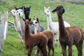 Katie Franks' Alpacas