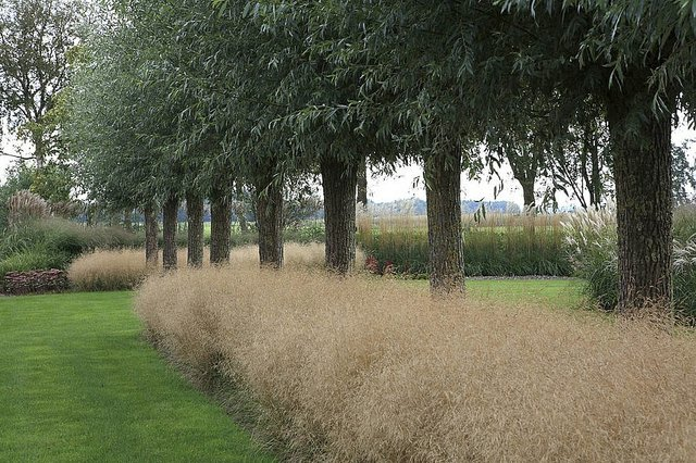 Deschampsia cespitosa Goldtau. Coltte Charsley