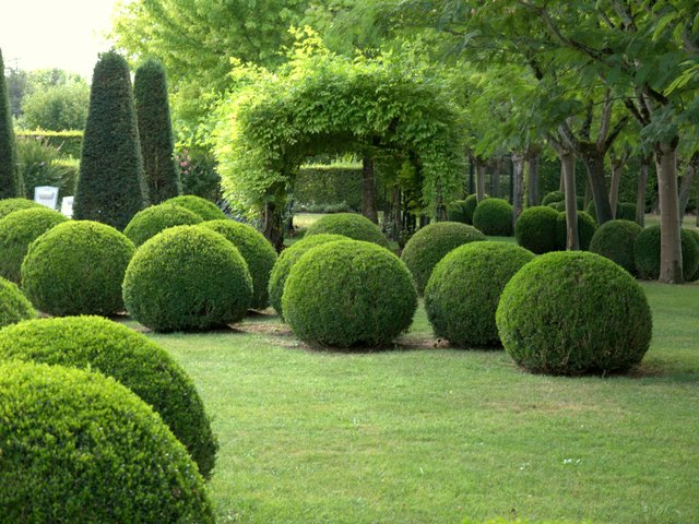 Buxus sempervirens ball - Colette Charsley