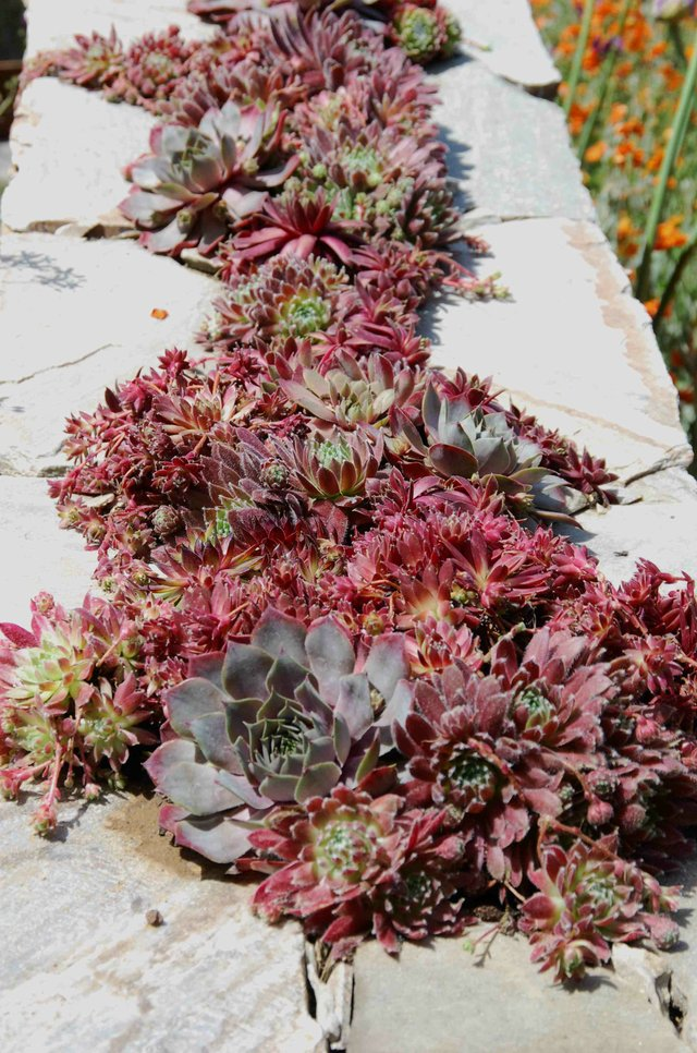 Semperviviums on a wall