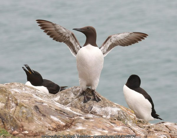Razorbills and Guillemot